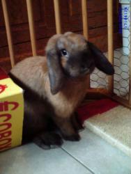 Noisette, née le 3 mars 2010, lapin bélier nain de Thuringue